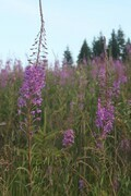 Fireweed Field