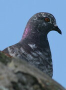 Pigeon at the Castillo de San Marcos