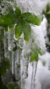 Plant Icicle